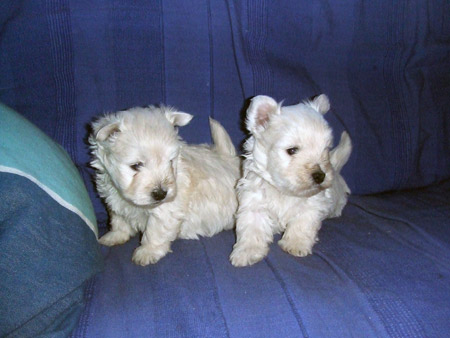http://www.trossacksfortune.nl/westies/media/pups5 jan2007/1.jpg